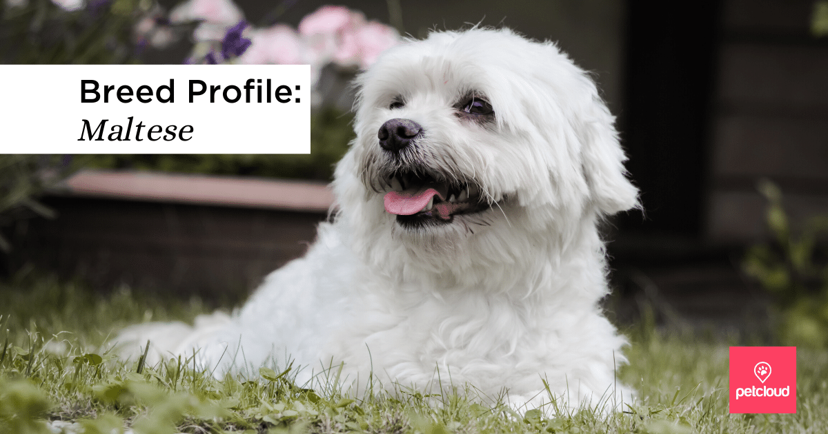 Could the Maltese Be the Perfect Match for You?
