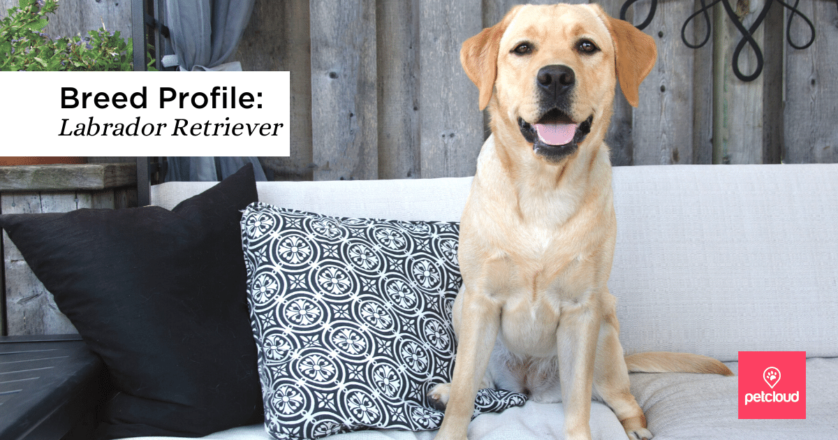 Could the Labrador Retriever be the perfect pet for you?