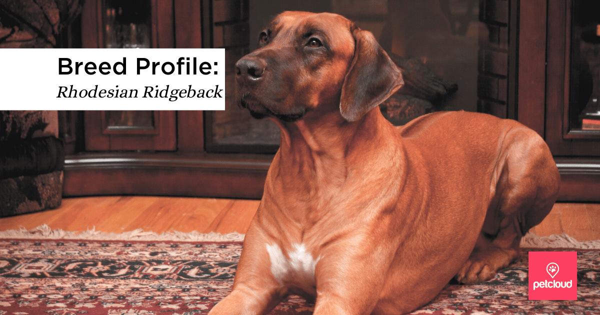 The Rhodesian Ridgeback: a beautiful & intelligent Guard Dog
