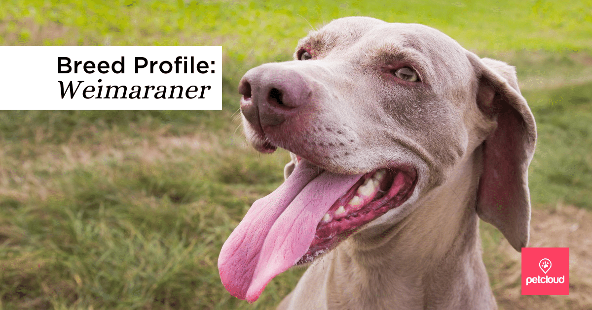 Is the Weimaraner dog breed your ideal companion?