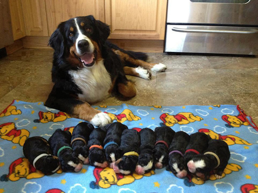 Download Bernese Mountain Dog Chubby Adorable Dog - blog_image-1494491405  Best Photo Reference_489979  .jpg