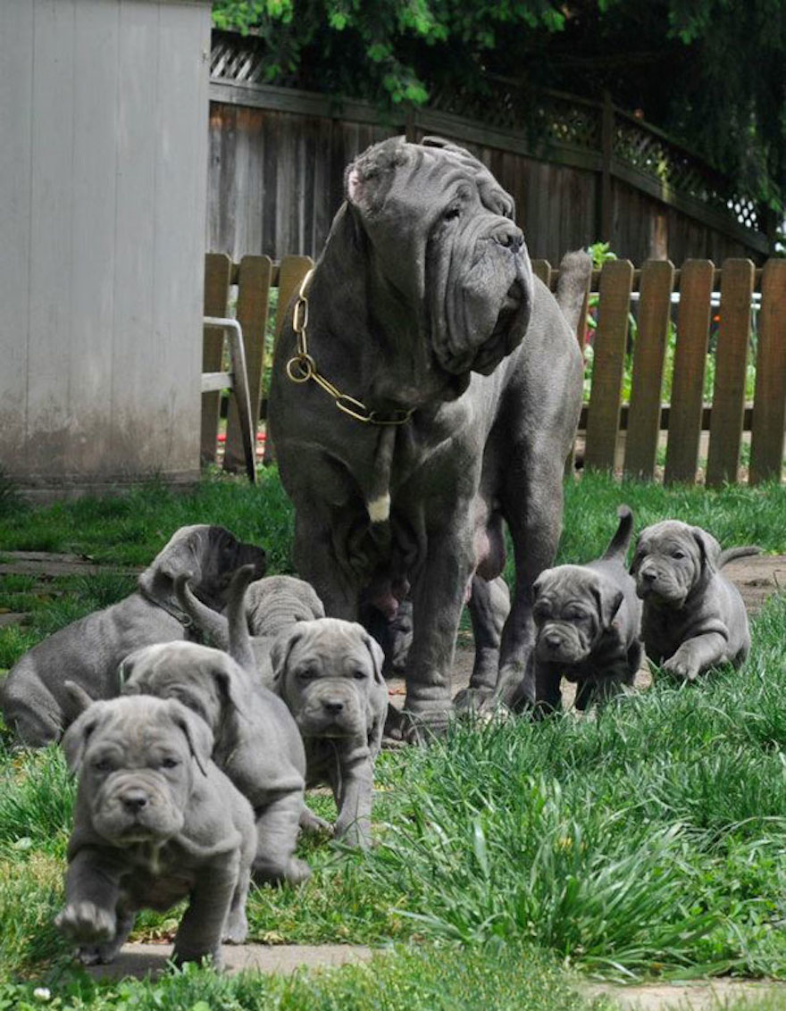 A Parade Of Neapolitan Mastiff Puppies