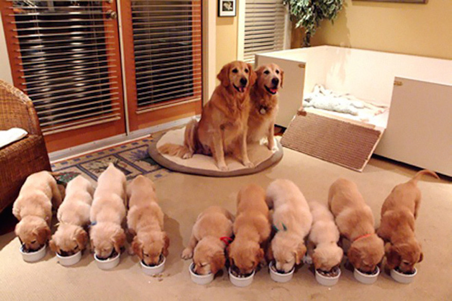 10 Golden Puppies