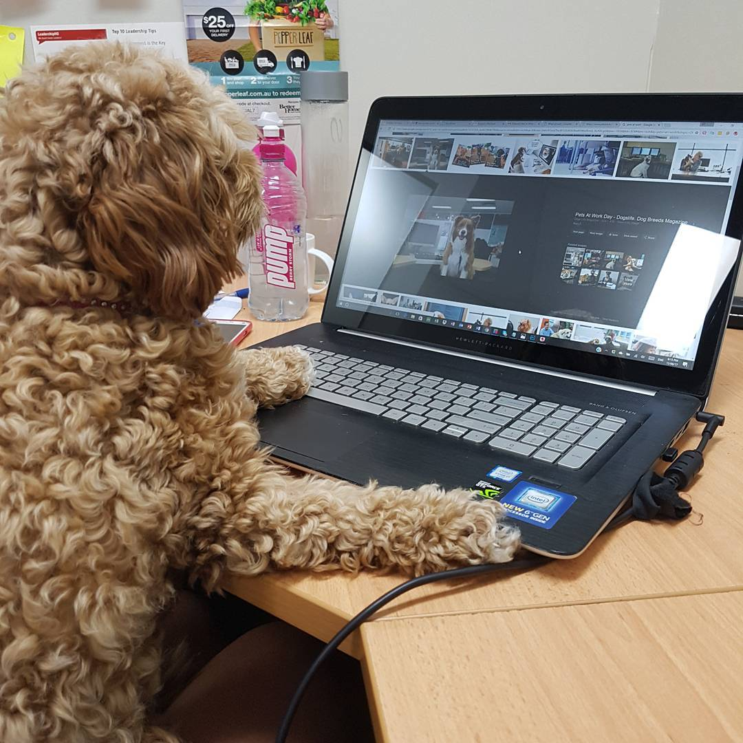 pet owner, national day day Australia, bring you dog to work day, take your dog to work day, dogs at work, cavoodle blog article image
