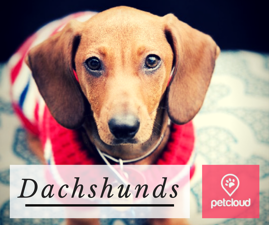 dachshunds, sausage dog, wiener dog, dog lovers, PetCloud, breed of the month, doxie, dog owner,