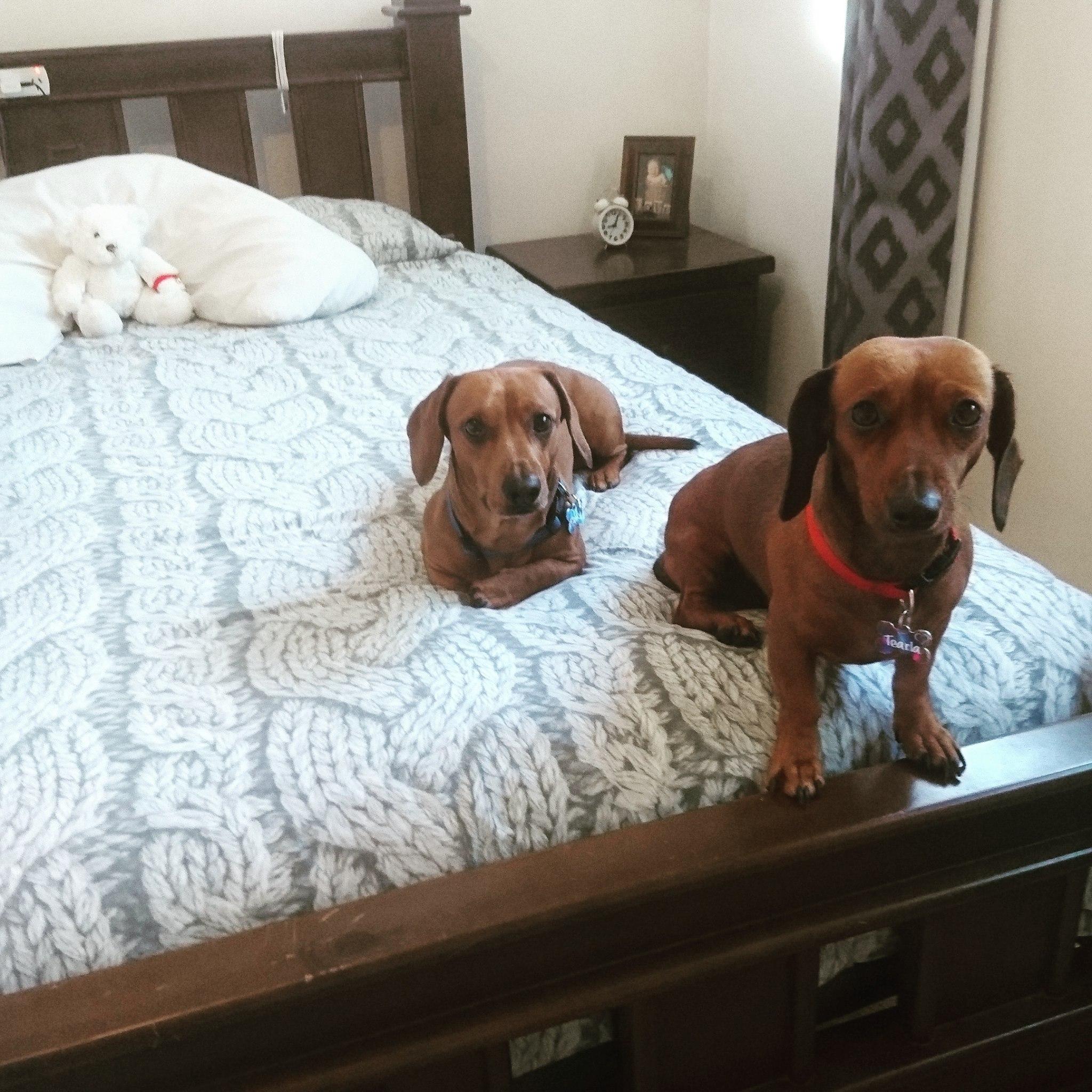 dachshund lovers, PetCloud
