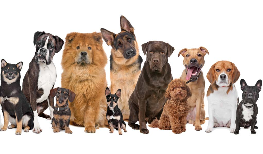 dog breeds, pet sitting, pets, part time jobs in australia
