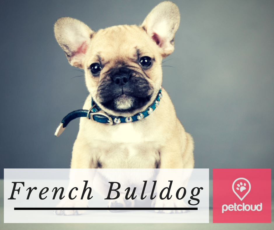 french bulldog, french bulldog lovers, frenchies, breed of the month, puppy profile, dog lover, companion dog, frenchie puppy, Sydney, Brisbane, Melbourne, Australia
