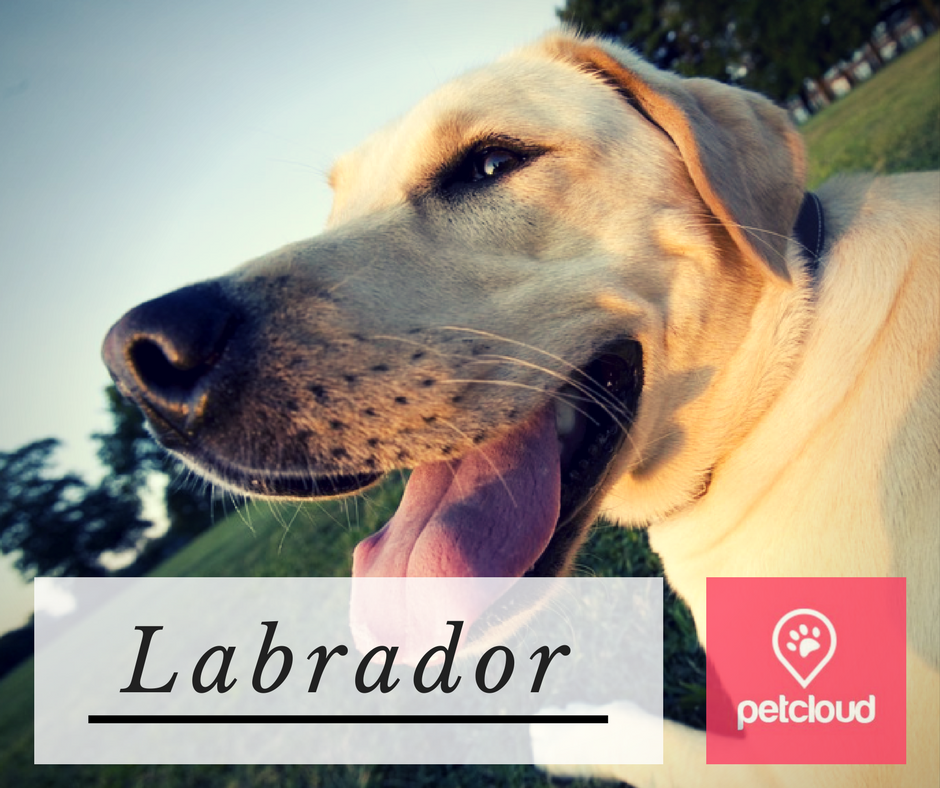 puppy profile, Labrador retriever, petcloud, dog lovers, breed of the month, Sydney, Brisbane, Melbourne, Australia, labs, Labrador puppies, Labrador lovers, blog article image