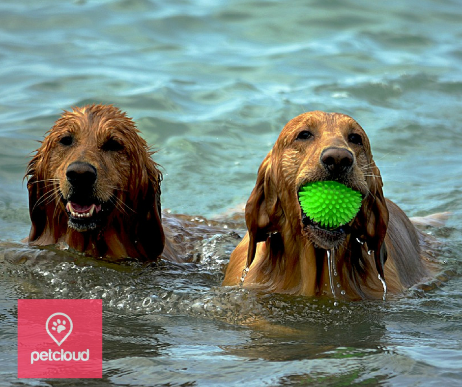 dogs at the beach, dogs swimming, ball, petcloud