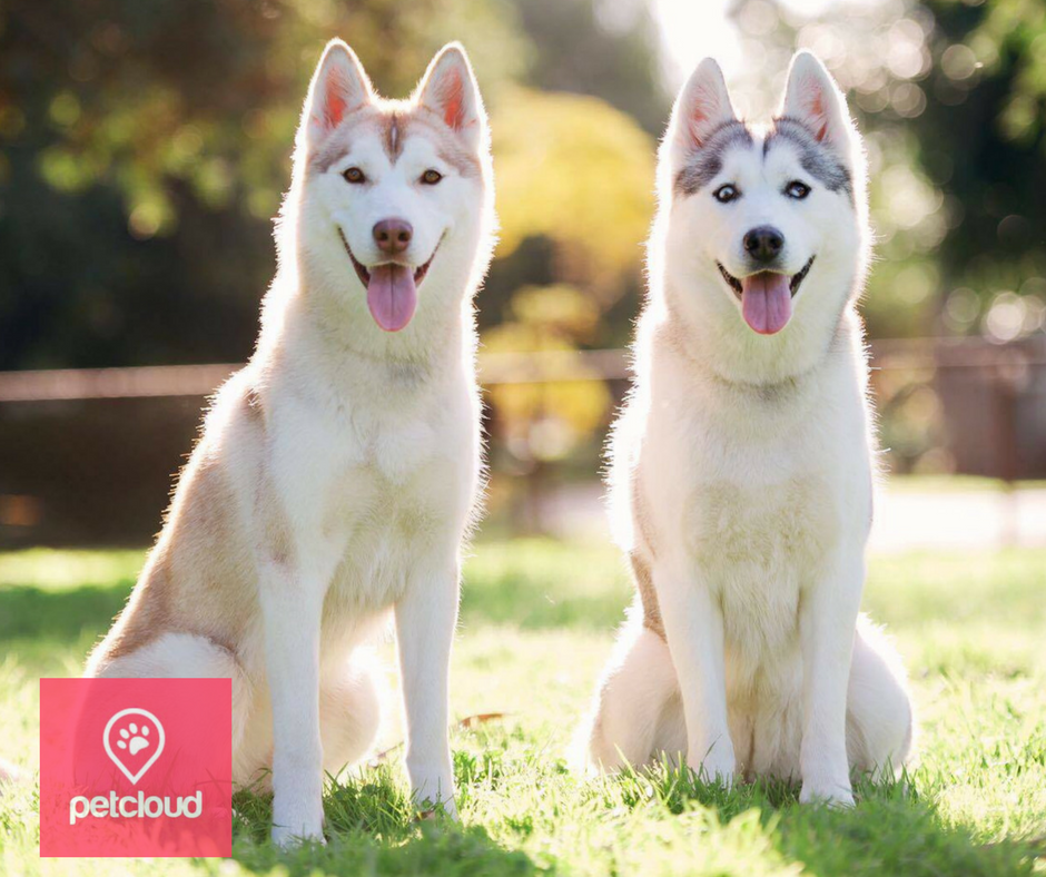 Husky, Siberian Husky, Puppy Profile, Breed Information, Breed of the Month, Husky Lovers, Petcloud