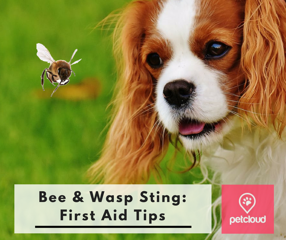 What to do if your pet gets a bee sting,  Bee Sting First Aid, pet sitting websites, cat minding, dog walking, dog parks, blog article image