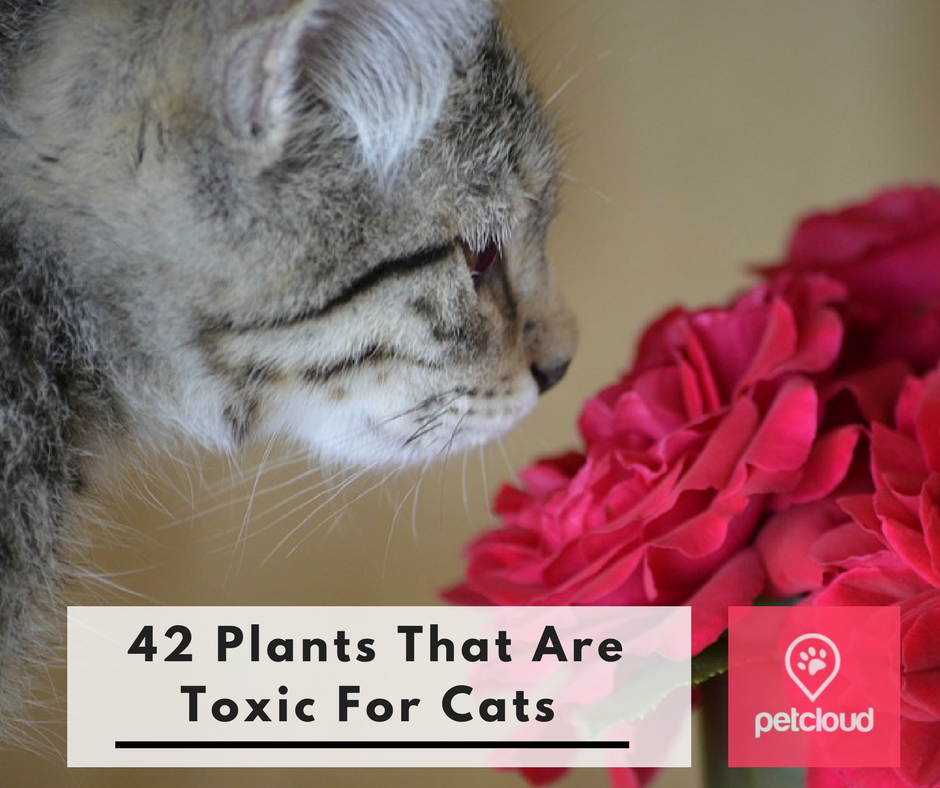 Plants that are toxic for cats and kittens, pet healthcare, PetCloud, Cat minding, cat boarding,  blog article image