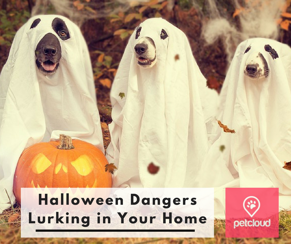 Halloween dangers for dogs and cats lurking in your home, cat sitting, cat minding, dog minding, dog boarding, dog kennels, PetCloud, trick or treat, anxiety blog article image