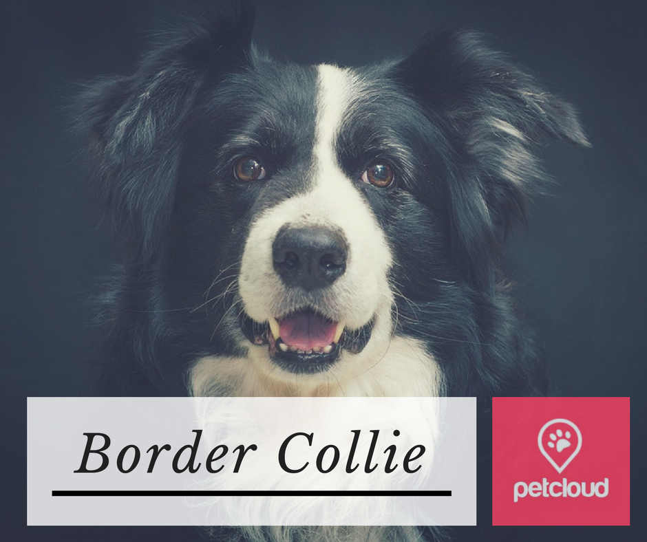 Border Collie, Breed Profile, Puppy Profile, Breed of the Month, What do I need to feed a Border Collie, How to exercise a border collie, Border Collie breed characteristics,