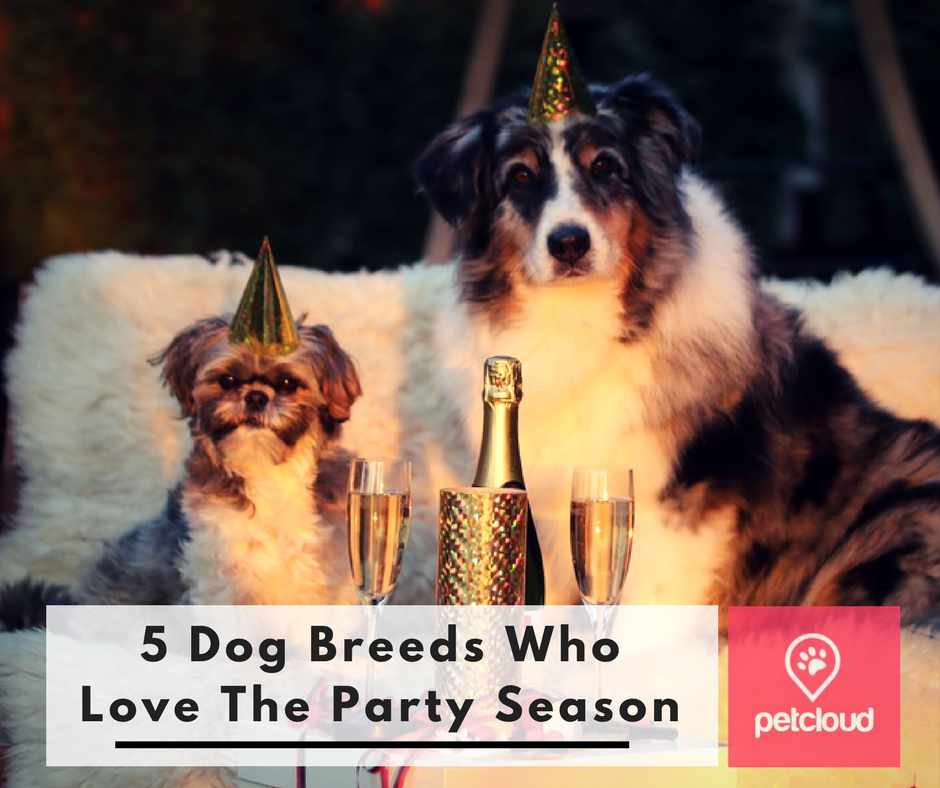 5 Social dog Breeds, Dogs who love the party season, Christmas, festive season, dog sitting, doggy day care, Brisbane, Sydney, Melbourne, PetCloud blog article image