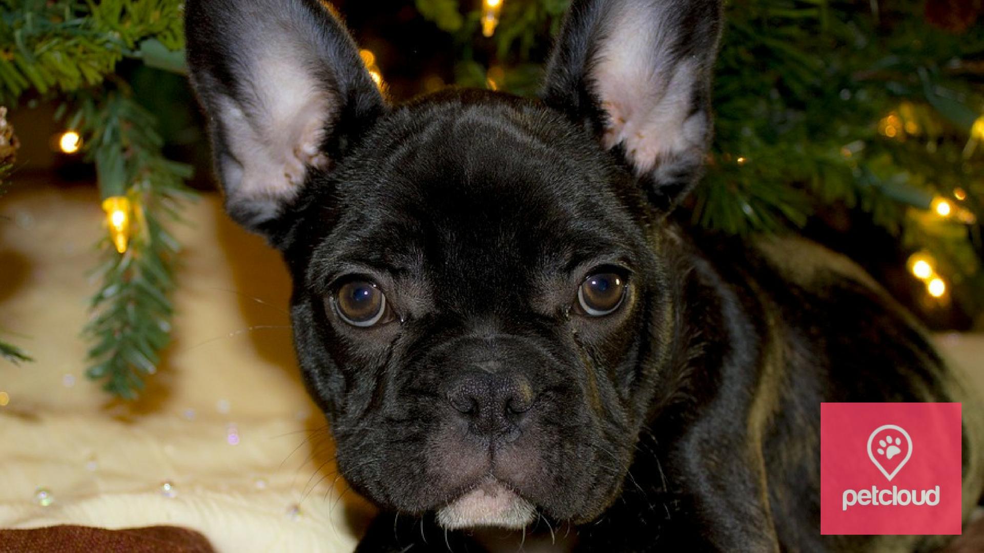 French Bulldog, PetCloud, Christmas, Companion Dog, Pet Sitting, Dog Sitting, Dog Minder