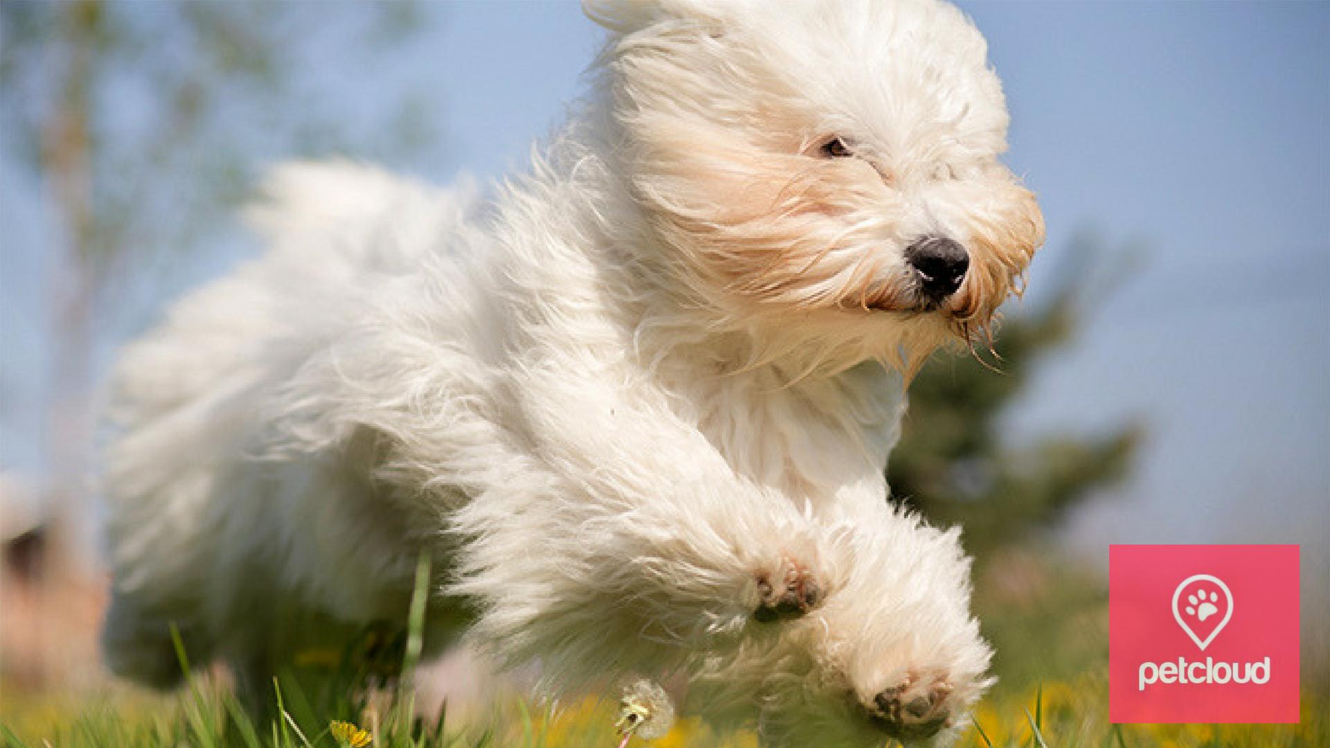 PetCloud, Dog Boarding, Dog Sitting, Christmas, Coton De Tulear, Small Dog