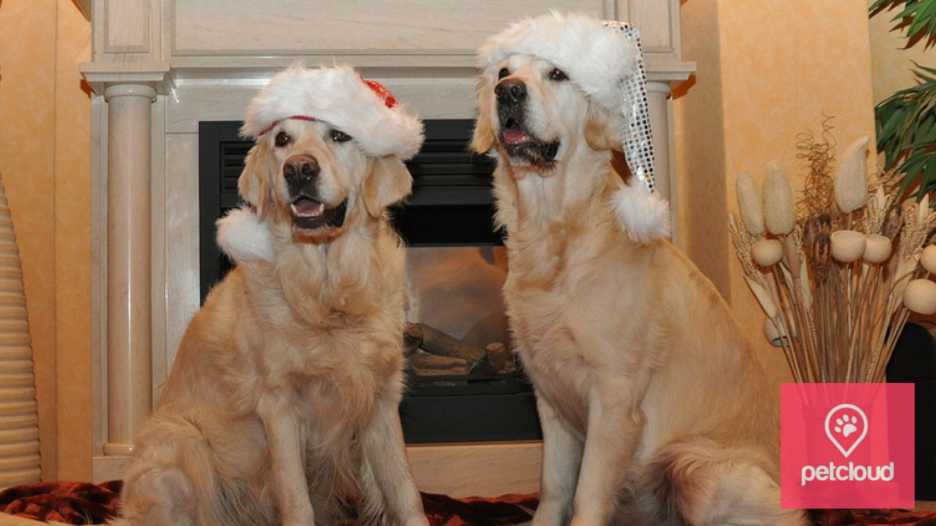 PetCloud, Labrador, Christmas