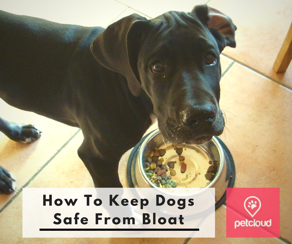 Great Dane, How to Keep Dogs Safe From Bloat, GDV, Signs and Symptoms, Pet Safety, Dog Health Care Tips, Feeding your dog, Exercising dogs, blog article image