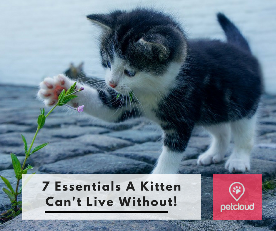 7 essentials a kitten can't live without, Cat sitter, House sitting, pet sitting, pet carer, Kitten, Cat, Kitty Litter, Toilet Training, Cat food, kitten food, fur baby, pet owner, cat owner, PetCloud blog article image