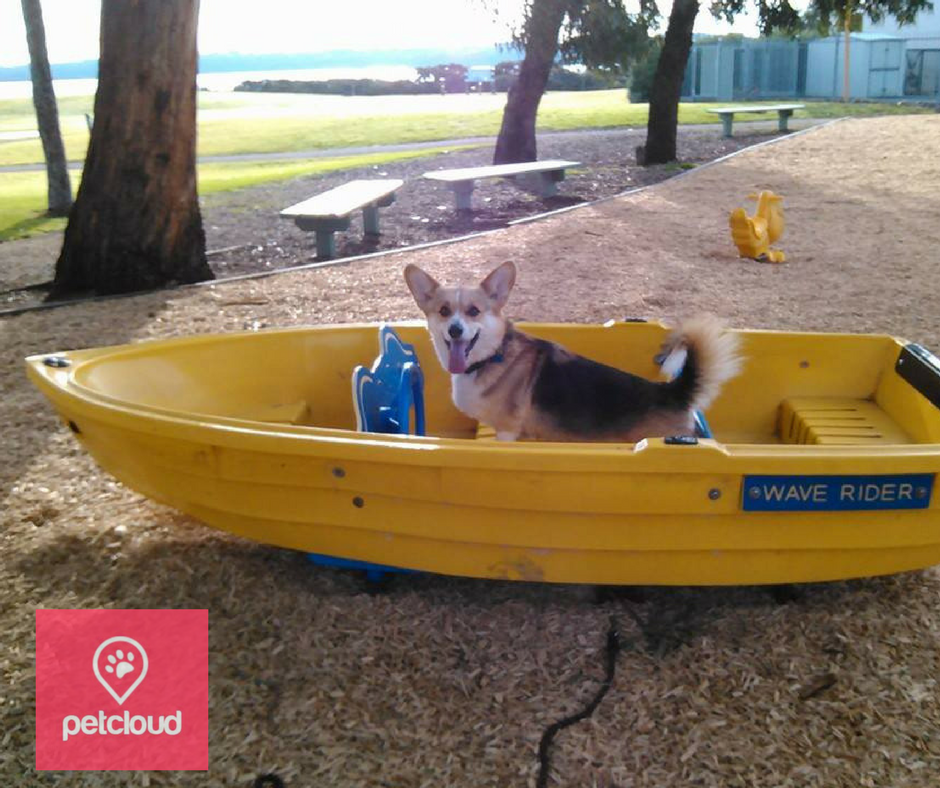 petcloud, pets of summer competition, Welsh Corgi, Australia, photo competition, heat stroke, heat stress, sun safety,