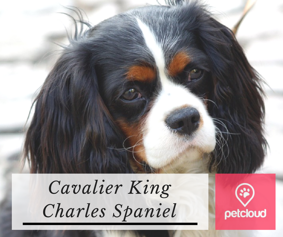 Puppy Profile, Dog Breed Profile, Cavalier King Charles Spaniel, How to train a Cavalier, How to look after a Cavalier, PetCloud, Pet Sitting, Doggy Day Care, blog article image