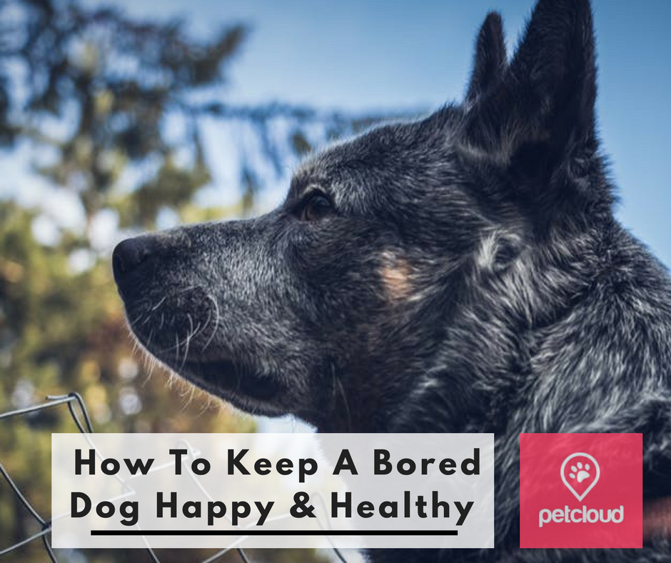 How to keep a bored dog happy and healthy, how to tell if your dog is bored, destructive dog behaviour, chewing, barking, enrichment, mental and physical exercise, stimulation, pet sitting, house sitting, PetCloud blog article image