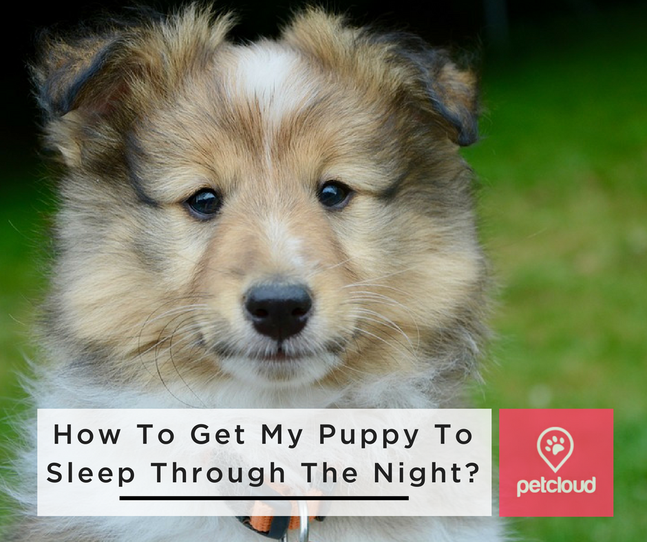 How to get my puppy to sleep through the night, dog training, puppy training, petcloud, puppy, Collie, Shepherd, toilet training, Australia, Brisbane, Sydney, Melbourne, Adelaide, Perth  blog article image