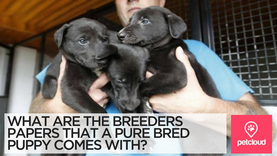 What Breeder Papers should a purebred Puppy come with