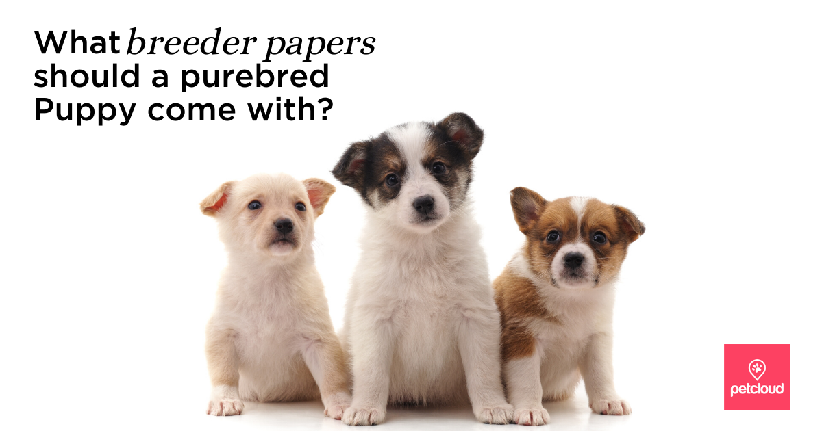 What are the breeders papers that a pure bred puppy comes with? 3 purebred puppies