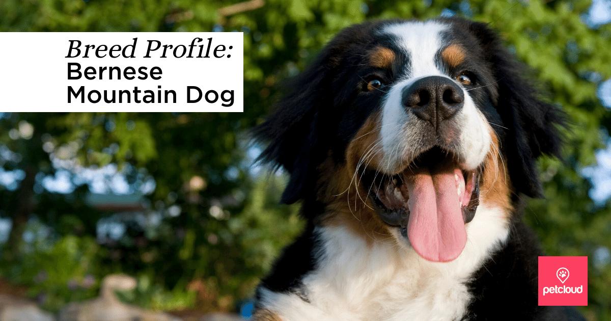 Happy Bernese Mountain Dog blog article image