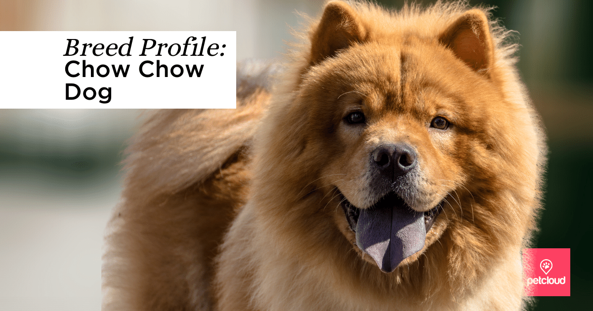 Chow Chow Dog with blue tongue out