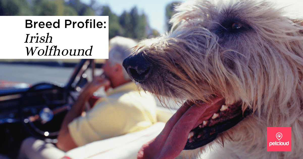 happy Irish wolfhound