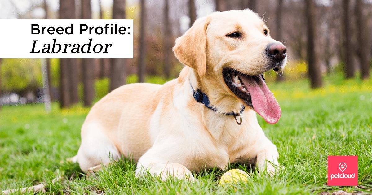 puppy profile, Labrador retriever, petcloud, dog lovers, breed of the month, Sydney, Brisbane, Melbourne, Australia, labs, Labrador puppies, Labrador lovers,
