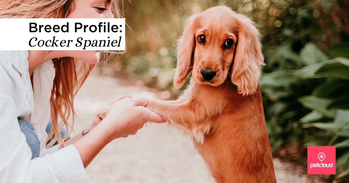 cocker spaniel dog smiling