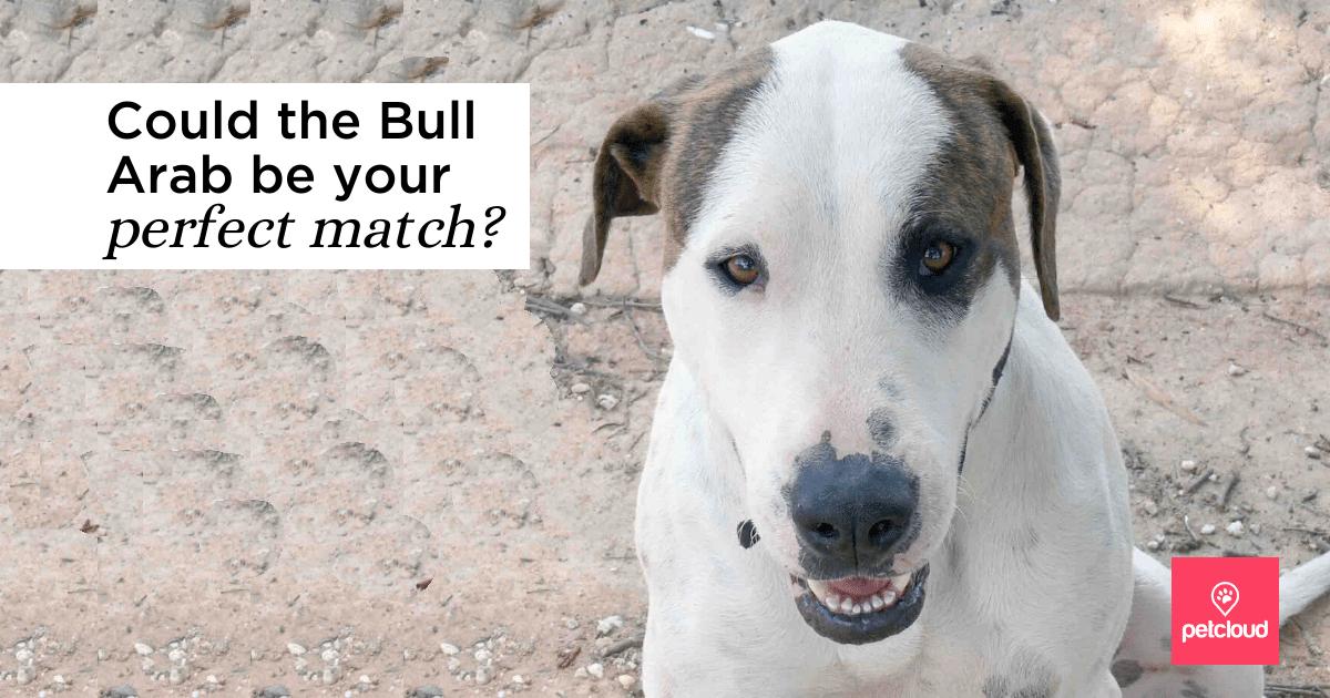 bull arab dog breed smiling
