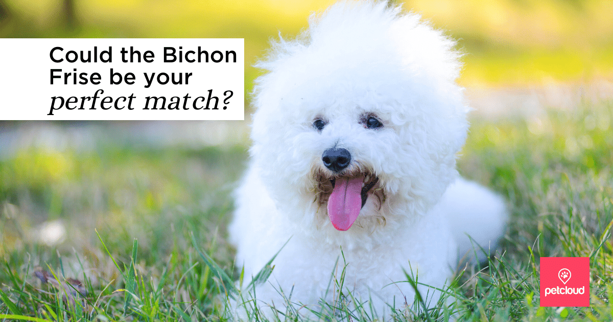 happy bichon frise with tongue out on grass
