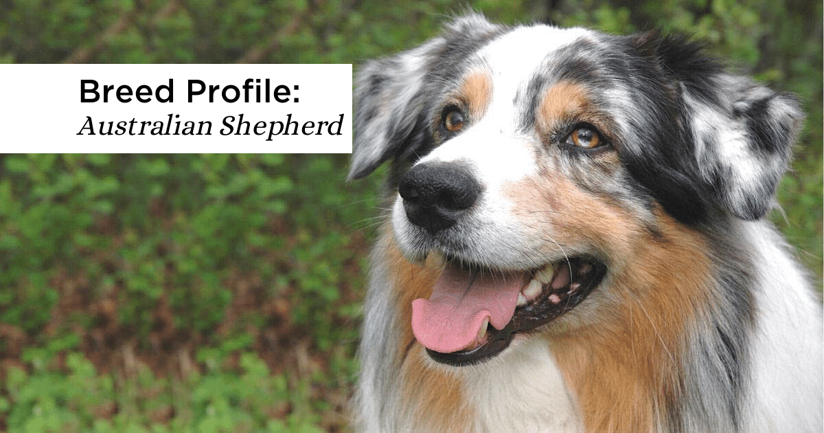 Smiling Australian Shepherd outdoors