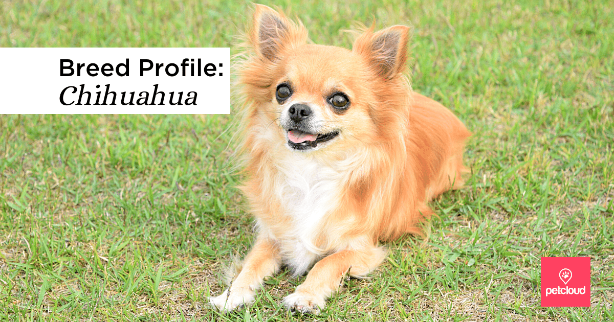 Smiling happy Chihuahua sitting on the grass blog article image