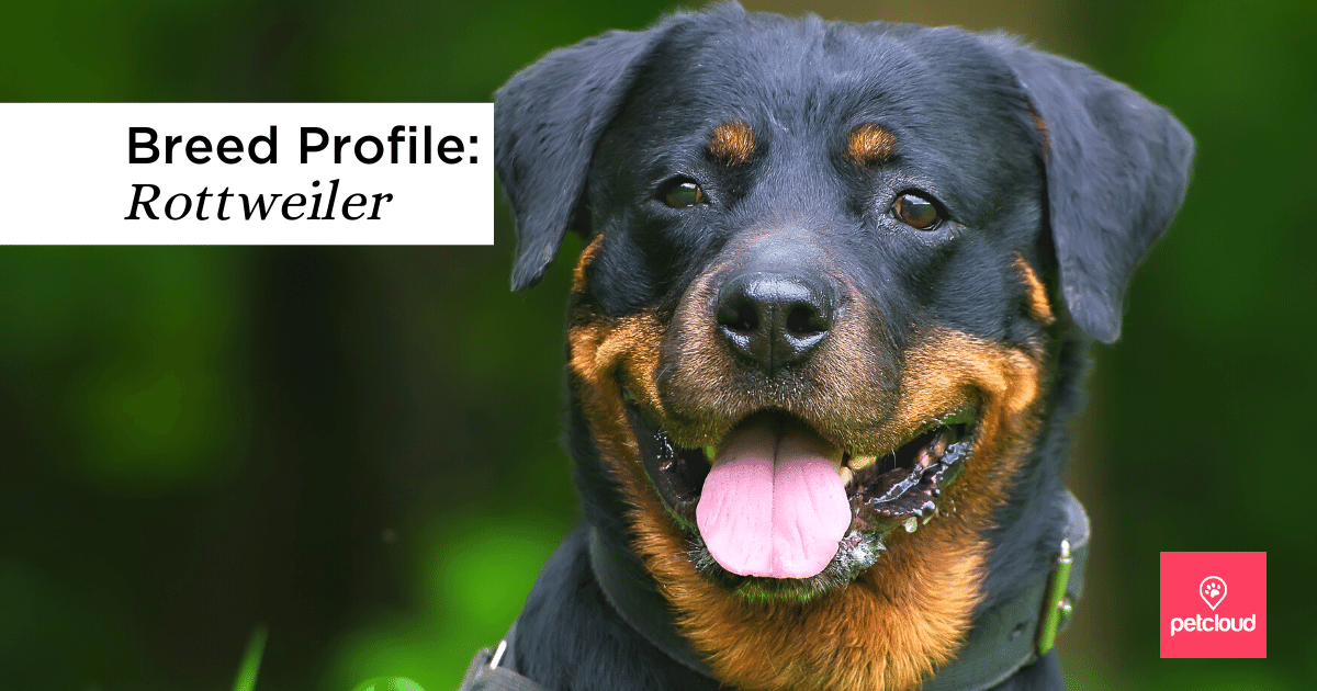 Happy Rottweiler looking at camera with tongue out