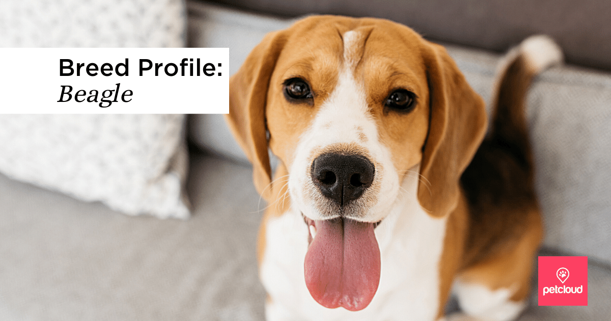 Beagle  looking at the camera with tongue out