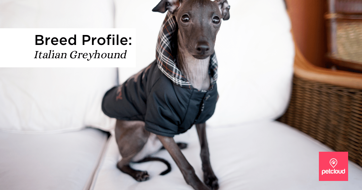 Italian Greyhound with coat on looking at camera
