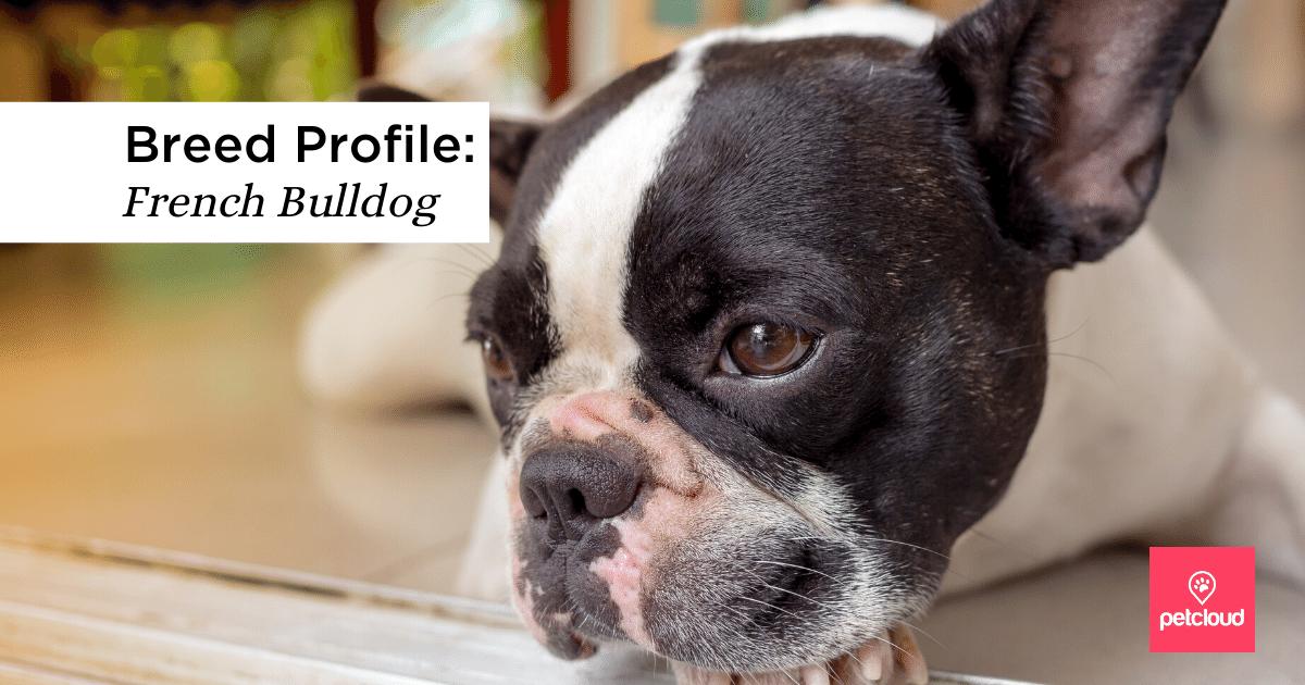 French Bulldog closeup blog article image