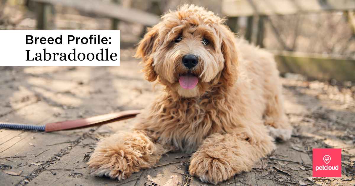 happy Labradoodle blog article image