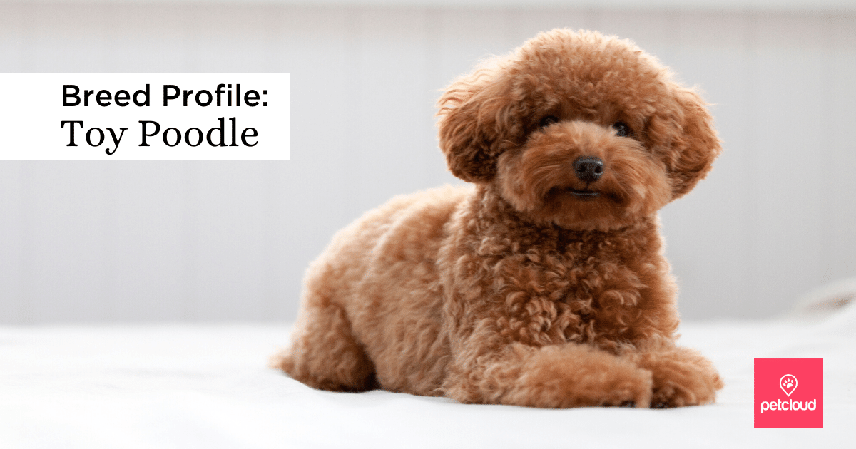 Happy Toy Poodle