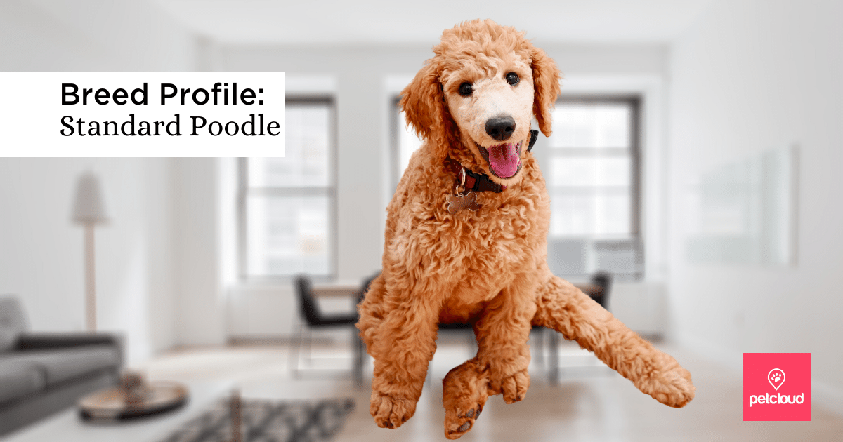 Happy Poodle with tongue out