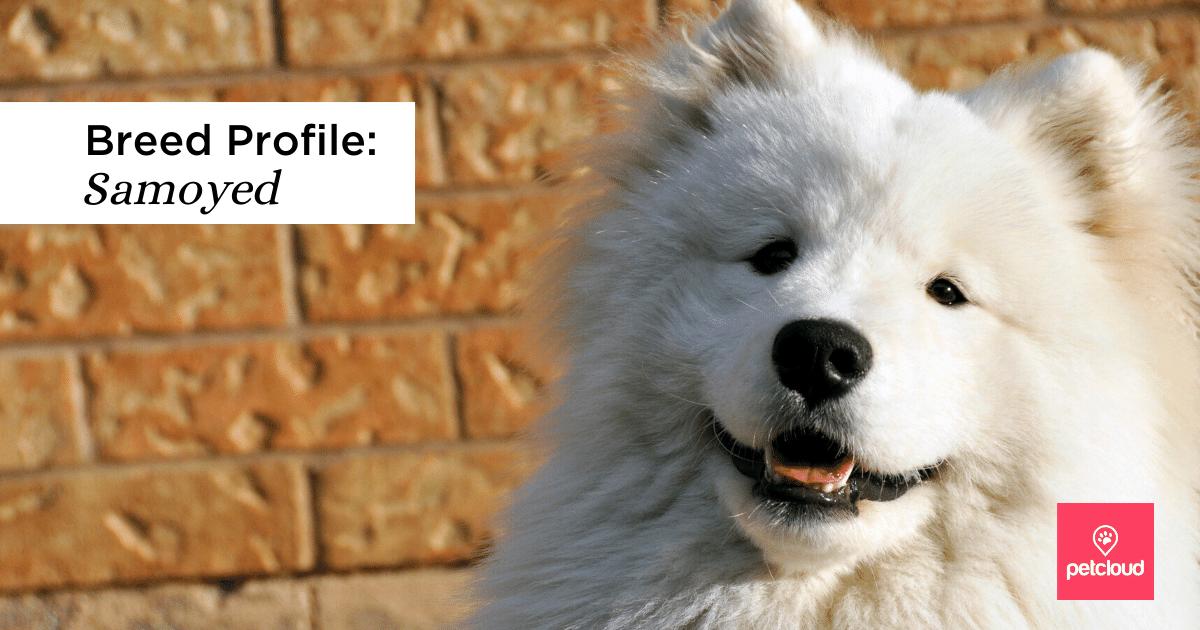 Happy Samoyed