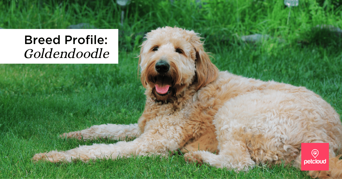 Happy Goldendoodle  sitting on grass