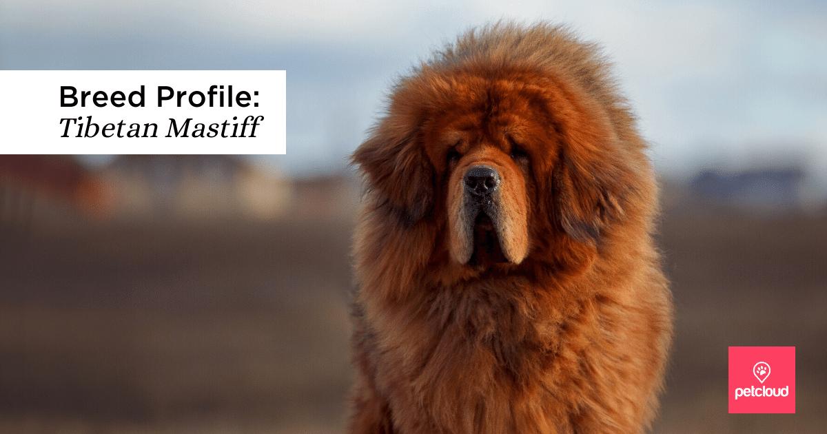 Happy Tibetan Mastiff